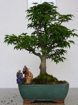 Acero giapponese bonsai