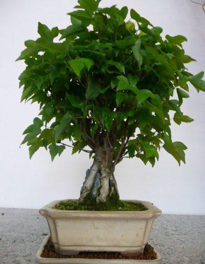 Acero su roccia bonsai