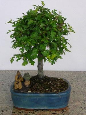 Biancospino bonsai