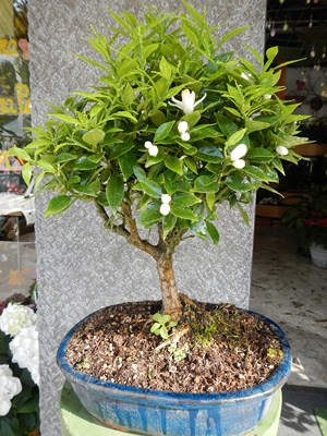 Fortunella bonsai