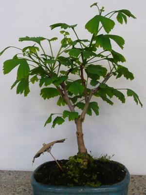 Ginko Biloba bonsai
