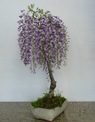 Glicine bonsai