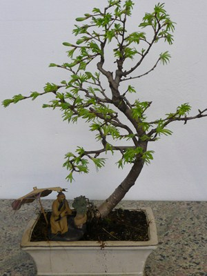 Larice bonsai