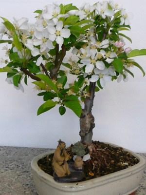 Melo bianco bonsai