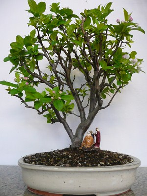 Melo rosa bonsai