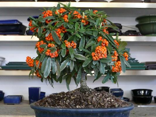 Pyracanta bonsai