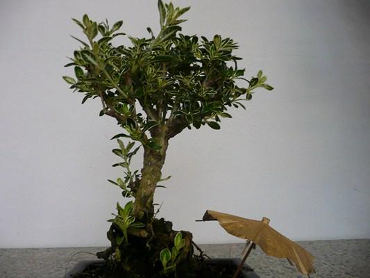 Serissa variegata bonsai