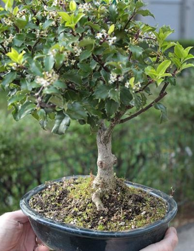 Agrifoglio bonsai