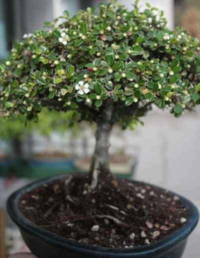 Cotone aster bonsai