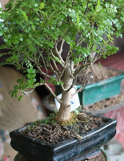 Pepper Tree bonsai