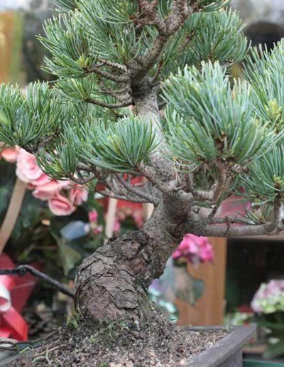 Pino pentaphila bonsai