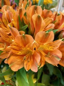 Alstroemeria, Giglio degli Incas arancione